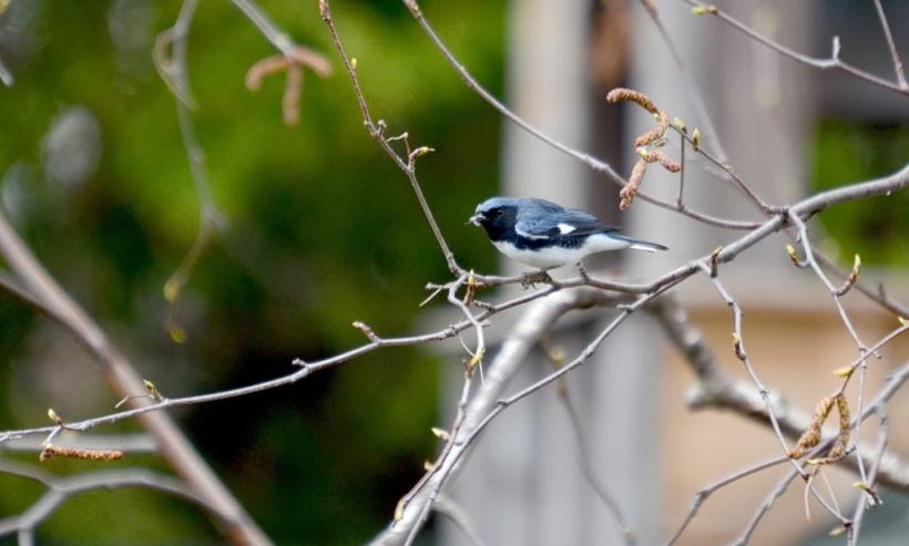 black-throated blue warbler, male, toronto, pic 9