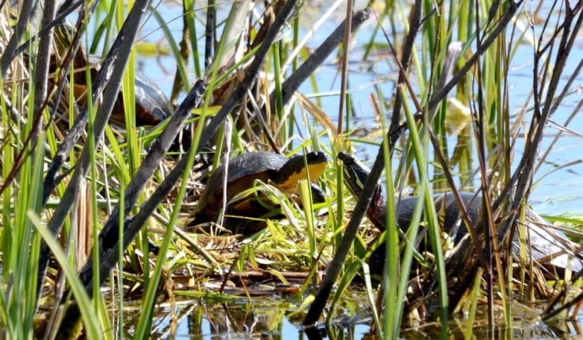 blandings turtle, carden alvar, city of kawartha lakes, ontario, pic 3