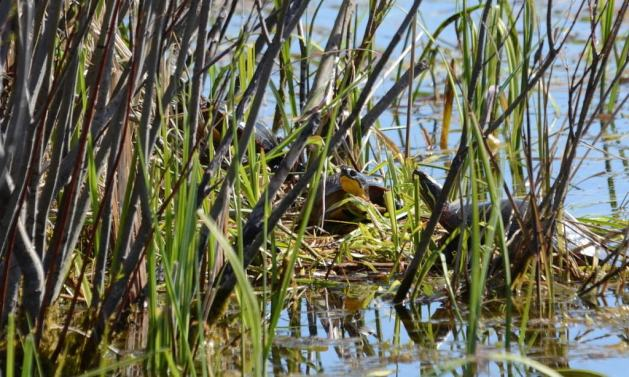 blandings turtle, carden alvar, city of kawartha lakes, ontario, pic 4