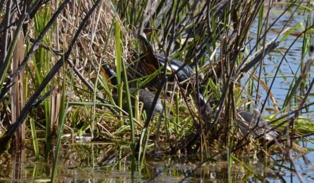 blandings turtle, carden alvar, city of kawartha lakes, ontario, pic 5