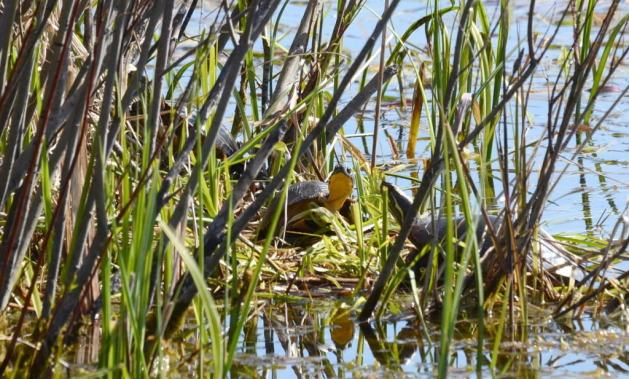 blandings turtle, carden alvar, city of kawartha lakes, ontario, pic1