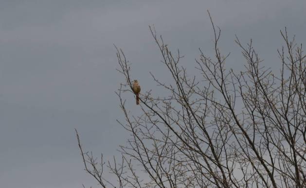 brown thrasher, carden alvar, city of kawartha lakes, ontario, pic 1