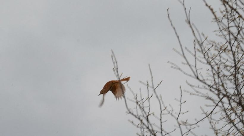 brown thrasher, carden alvar, city of kawartha lakes, ontario, pic 2