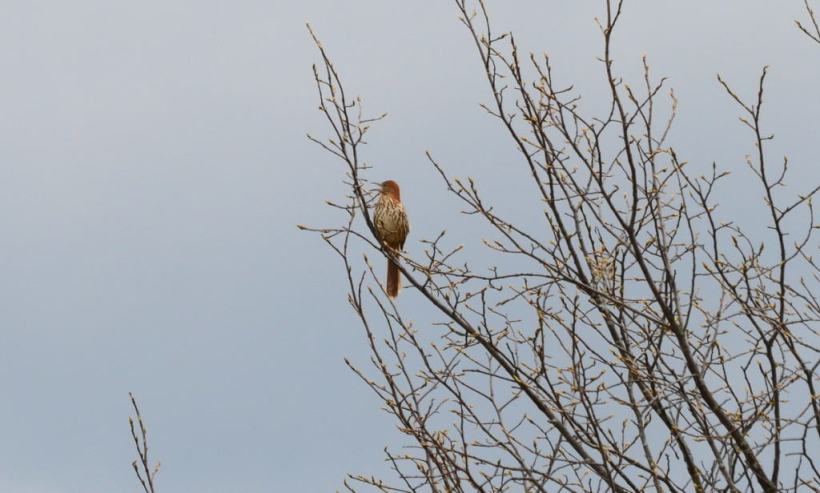 brown thrasher, carden alvar, city of kawartha lakes, ontario, pic 3