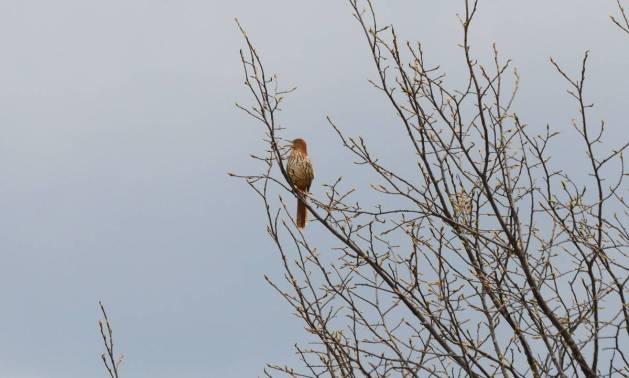brown thrasher, carden alvar, city of kawartha lakes, ontario, pic 3