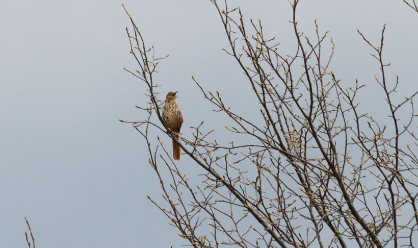 brown thrasher, carden alvar, city of kawartha lakes, ontario, pic 4