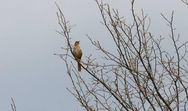 brown thrasher, carden alvar, city of kawartha lakes, ontario, pic 4
