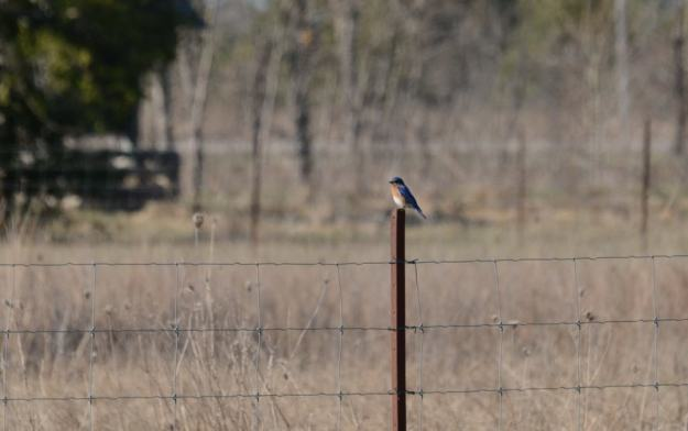 eastern bluebird, carden alvar, carden township, city of kawartha lakes, ontario, pic 2