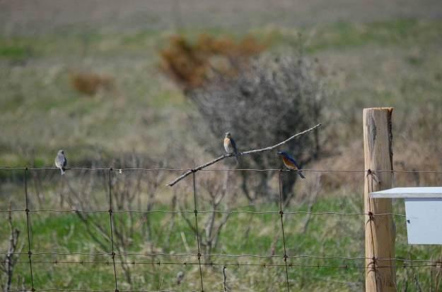 eastern bluebird, carden alvar, carden township, city of kawartha lakes, ontario, pic 7