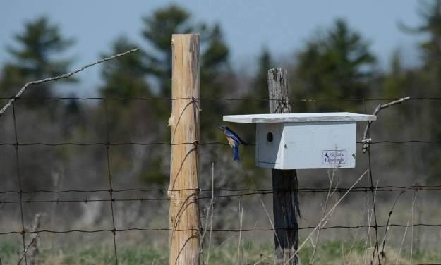 eastern bluebird, carden alvar, carden township, city of kawartha lakes, ontario, pic 8