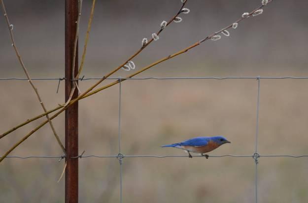eastern bluebird, carden alvar, carden township, city of kawartha lakes, ontario, pic 9