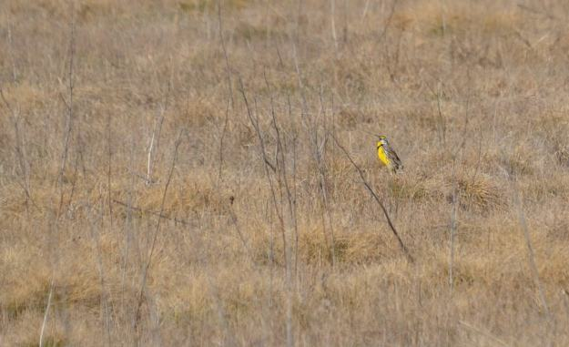 An image of an Eastern meadowlark at the Carden Alvar, Carden Township, Ontario.