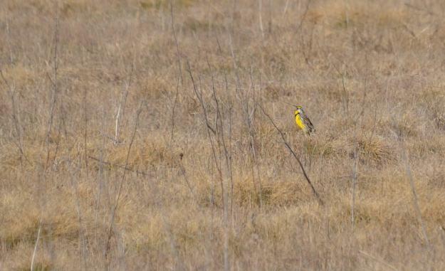 An image of an Eastern meadowlark at the Carden Alvar, Carden Township, Ontario.