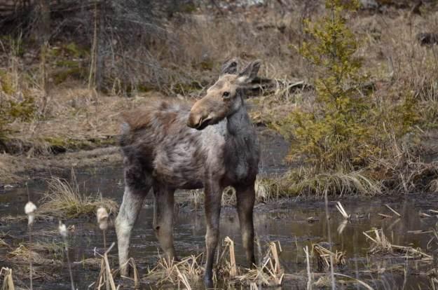 moose calf 2