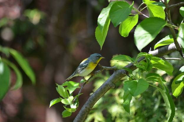 Photo of a Northern parula sitting on apple limb in Toronto, Ontario