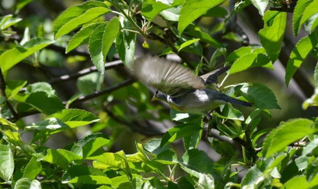 Photo of a Northern parula taking flight in Toronto, Ontario