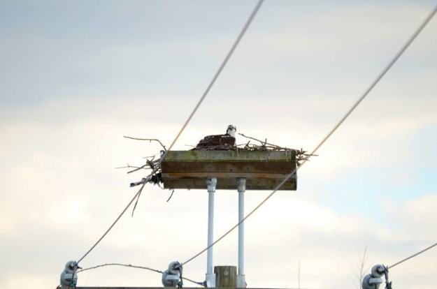Osprey sitting in nest near Carden Alvar, City of Kawartha Lakes in Ontario