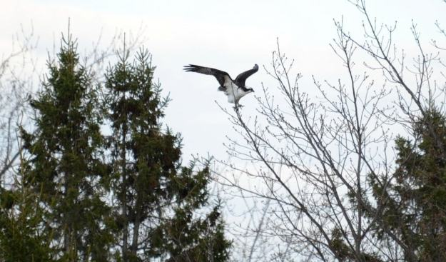 Osprey lands on tree limb at Carden Alvar, City of Kawartha Lakes in Ontario