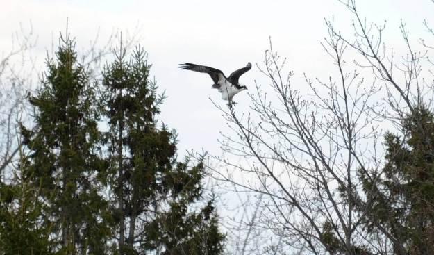 Osprey lands on tree limb at Carden Alvar, City of Kawartha Lakes in Ontario