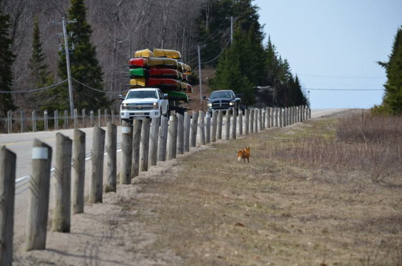 Image of a Red fox in the ditch along hwy 60 in Algonquin Park, Ontario.