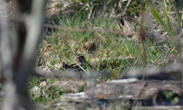 wilson's snipe, carden alvar, city of kawartha lakes, ontario, pic 4