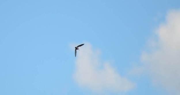 wilson's snipe, carden alvar, city of kawartha lakes, ontario, pic16