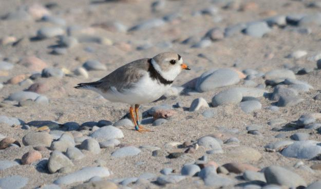 Piping Plover at darlington provincial park, ontario