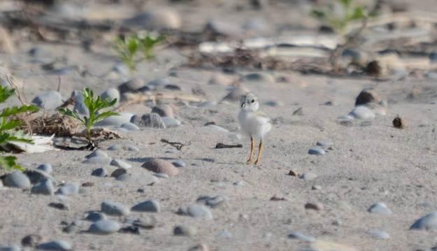 Piping Plover chick at Darlington Provincial Park, Ontario