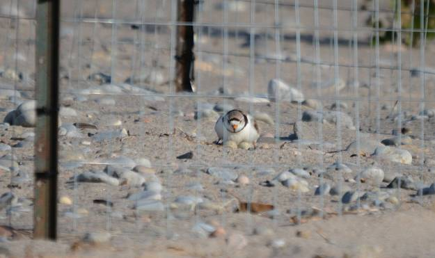 Piping Plover sitting on eggs at darlington provincial park, ontario, pic 1