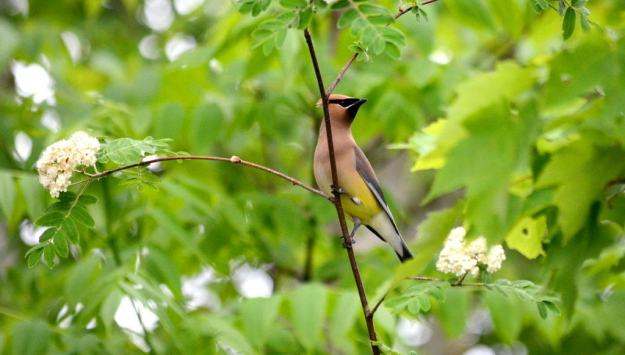Image of a cedar waxwing at oxtongue lake, in ontario.