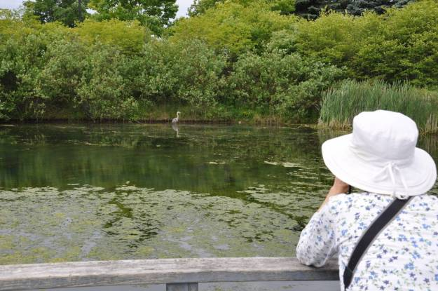 great blue heron at milliken park pond, toronto, ontario, pic 2