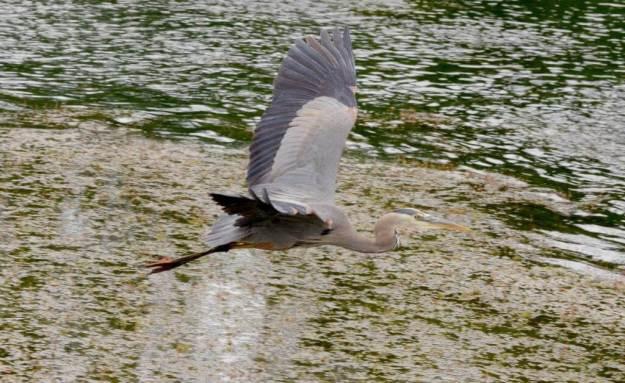 great blue heron, milliken park, toronto, ontario, pic 15
