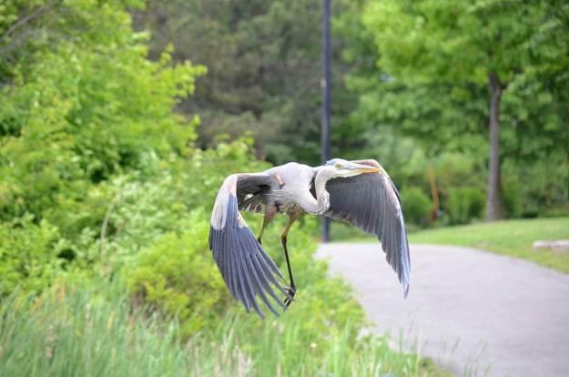 great blue heron, milliken park, toronto, ontario, pic 3