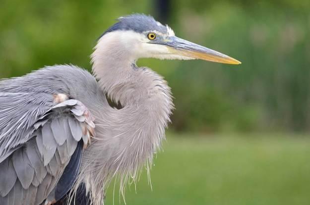 great blue heron, milliken park, toronto, ontario, pic 4