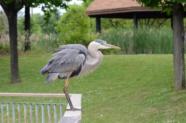 great blue heron, milliken park, toronto, ontario, pic 6