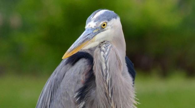 great blue heron, milliken park, toronto, ontario, pic 7