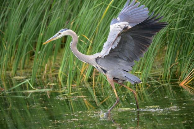great blue heron, milliken park, toronto, ontario, pic 9