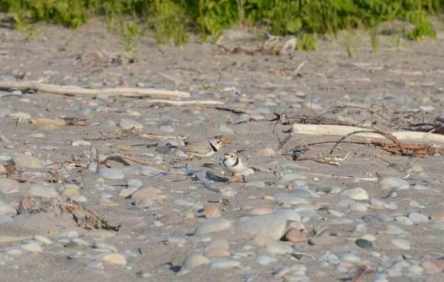 piping plover adults among sand and rocks at Darlington Provincial Park, Ontario