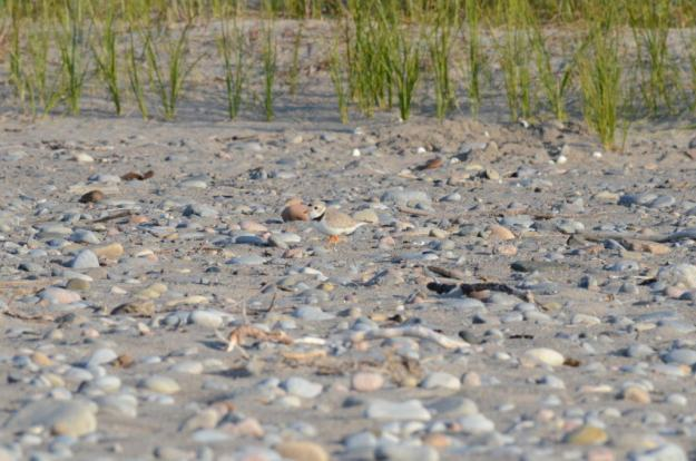piping plover among sand and rocks at Darlington Provincial Park, Ontario
