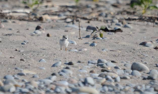 Piping plover chick along the sandy shoreline at Darlington Provincial Park, Ontario