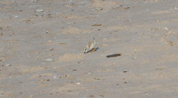 Piping plover chick searching for food among sand at Darlington Provincial Park, Ontario