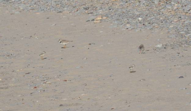 Piping plover chicks and adults at Darlington Provincial Park, Ontario