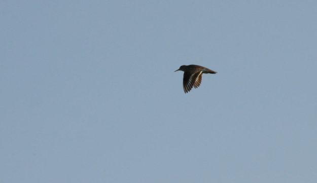 piping plover in flight at darlington provincial park, ontario, 2