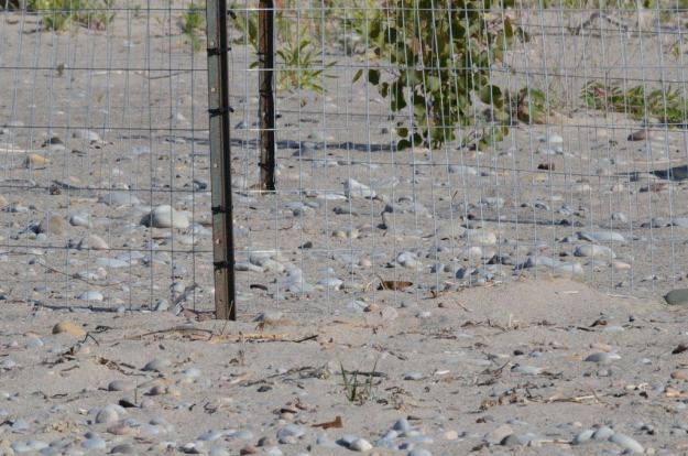 piping plover nest among sand and rocks at darlington provincial park, ontario, 1