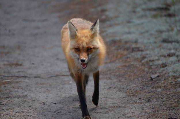 An image of a Red fox vixen running along a dirt trail in Algonquin Park in Ontario, Canada.