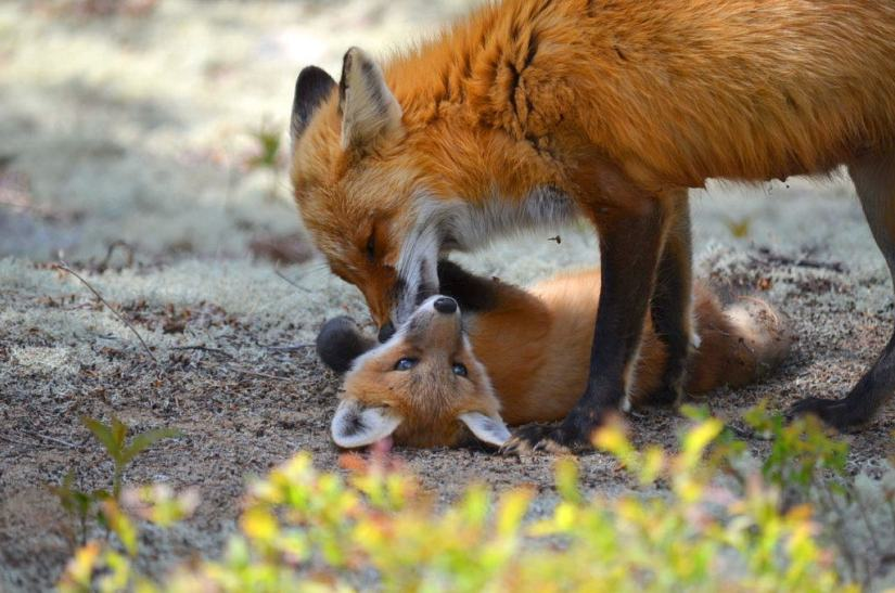 An image of a Red fox vixen grooming one of her kits in Algonquin Park in Ontario, Canada.