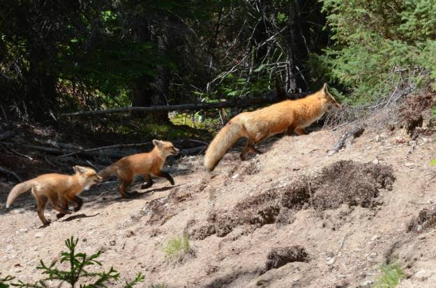 An image of Two Red Fox kits following their mother in Algonquin Park in Ontario, Canada.