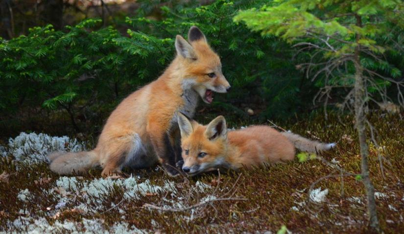 An image of Two Red fox kits side by side in Algonquin Park in Ontario, Canada.