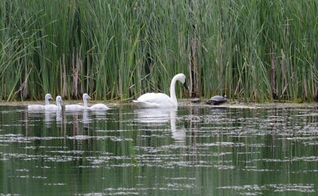 Image of trumpeter swans beside a turtle at Milliken Park in Toronto, Ontario