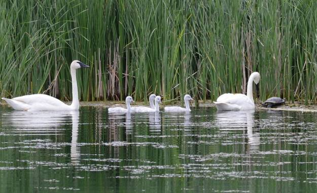 Image of trumpeter swans with cygnets beside a snapping turtle at Milliken Park, in toronto, ontario.